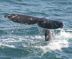 whale-watching-hornblower
