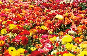 1flower-fields