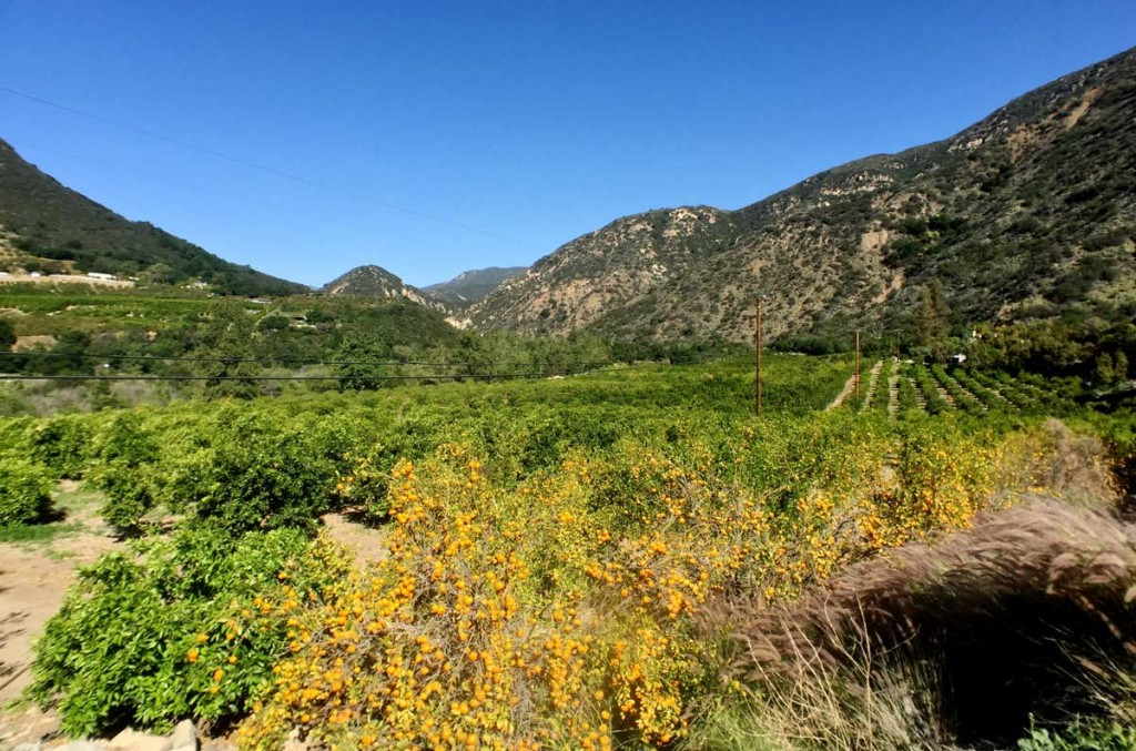 Citrus groves with Pixie trees in OJai.