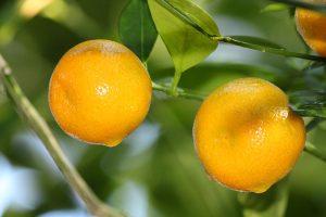 lemon-fest