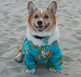 socal-corgi-beach-day