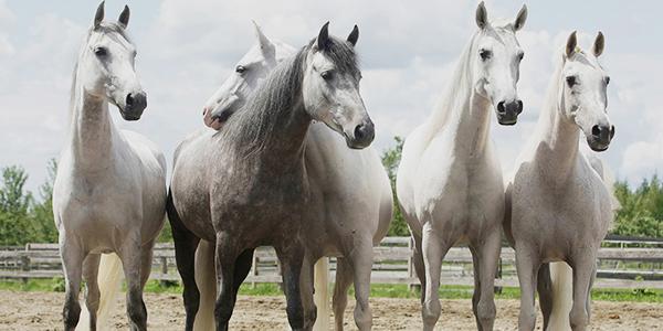 odysseo-arabian-horses-banner-2