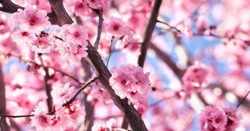 Cherry-Blossom-Festival