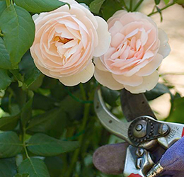 Successful-Roses-for-Spring