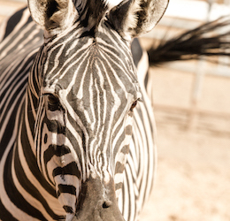 National Zebra Week at Malibu Wines