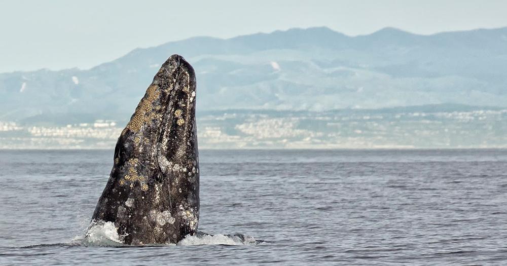 BANNER-47th-Annual-Festival-of-Whales-photo-by-Chrisitina-de-la-Fuente