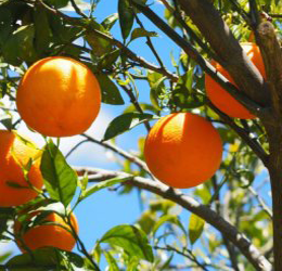 Citrus-Care-and-Pruning-Class