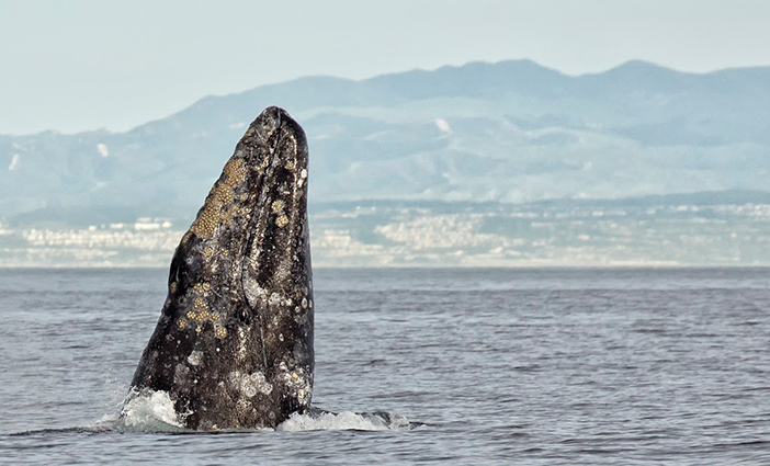 47th-Annual-Festival-of-Whales-photo-by-Chrisitina-de-la-Fuente