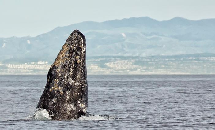 47th-Annual-Festival-of-Whales-photo-by-Chrisitina-de-la-Fuente