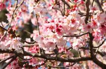 BANNER-Cherry-Blossom-Festival