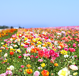 The-Flower-Fields-Rebecca-Horikawa-2