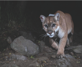 The Lonely Lion: Get to Know P-22, LA's Most Famous Mountain Lion