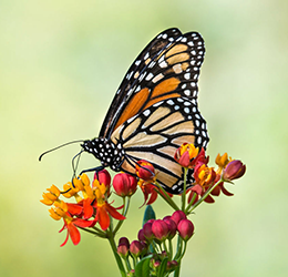 Monarch-Butterfly-photo-courtesy-Casa-Romantica-Cultural-Center-&-Gardens